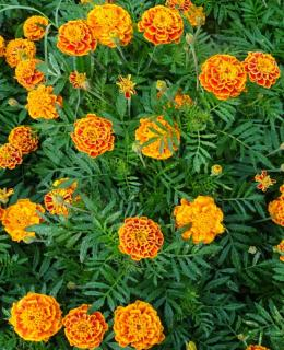 French marigolds from above