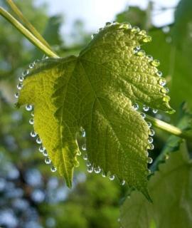 Guttation on a grape vine leaf, droplets of guttant lining the edges.