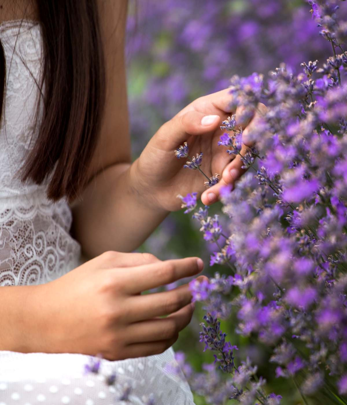 Lavender with a young lady handling the flowers.