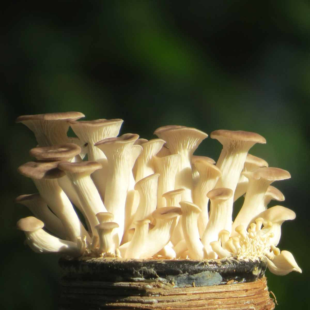 Oyster mushrooms growing.