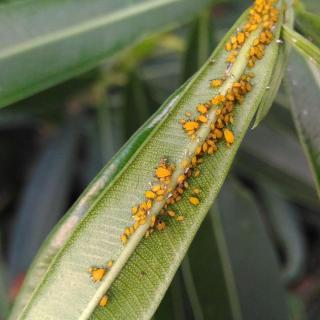 Yellow aphids on oleander leaves