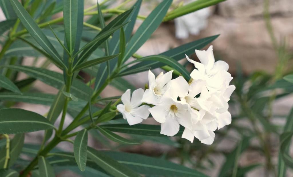 White oleander flowers