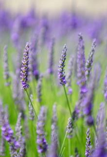 English lavender in a field