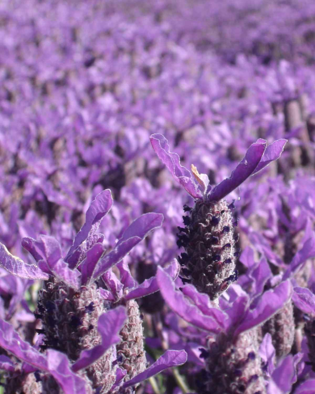 A field completely covered in purple Lavandula stoechas flowers.