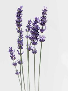 Stalks of lavender flowers with a white background.