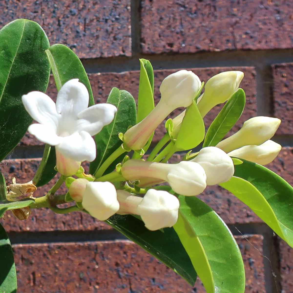 Pruning stephanotis – timing, tools, technique & tips!