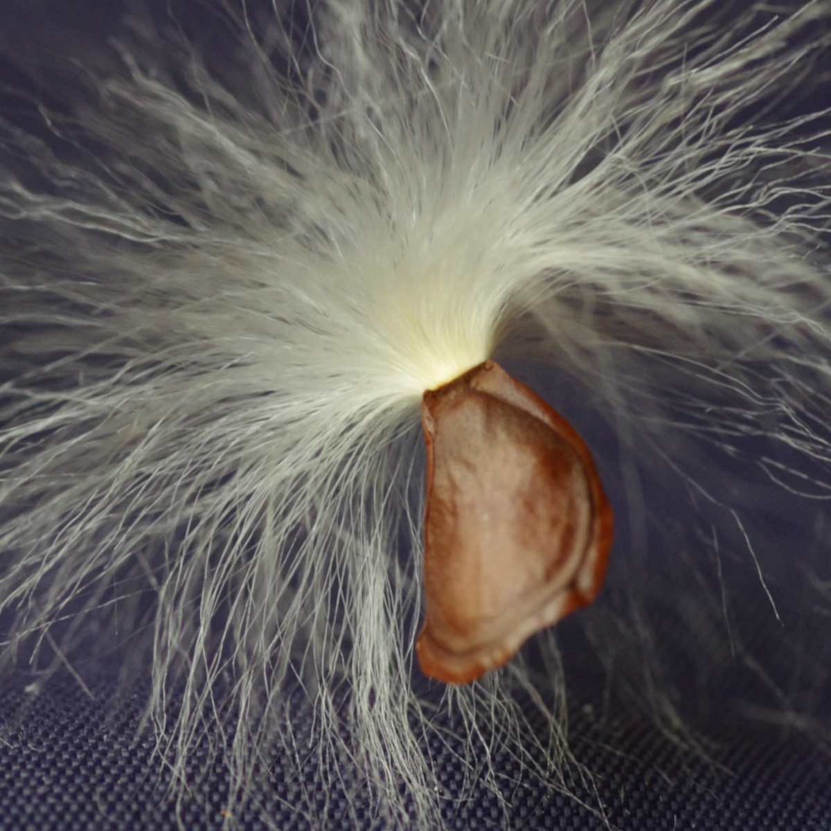 Seeds from the Stephanotis vine