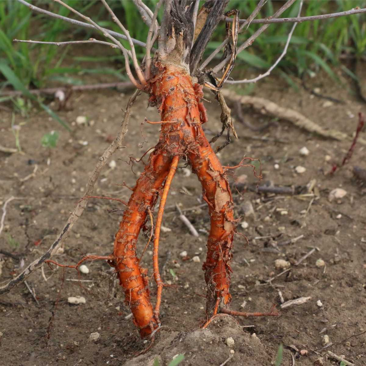 Roots exposed on a plant during transplanting