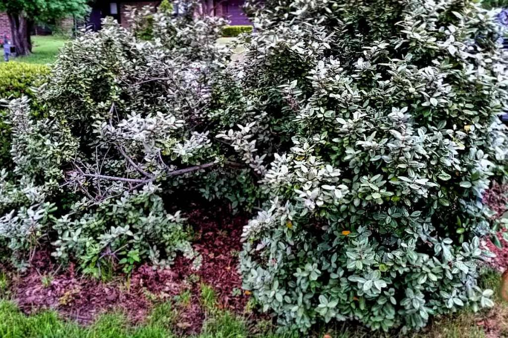 Silverberry bush poisoned by birds growing back after treatment