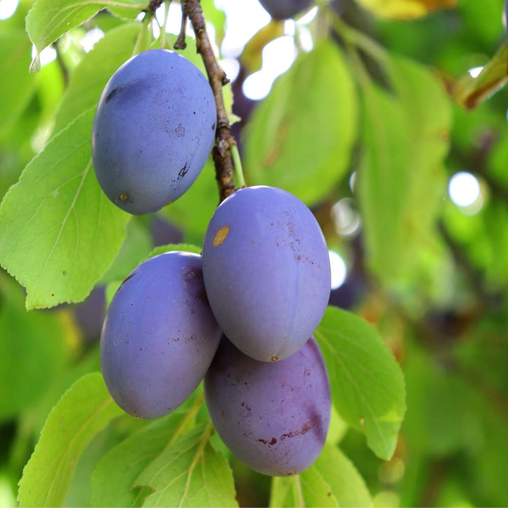 Summer fruit tree care, plums on a branch