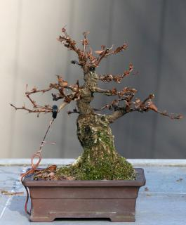Berberis bonsai grown from stump of a larger shrub.