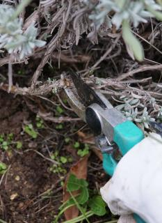 Hard pruning of lavender with a secateur