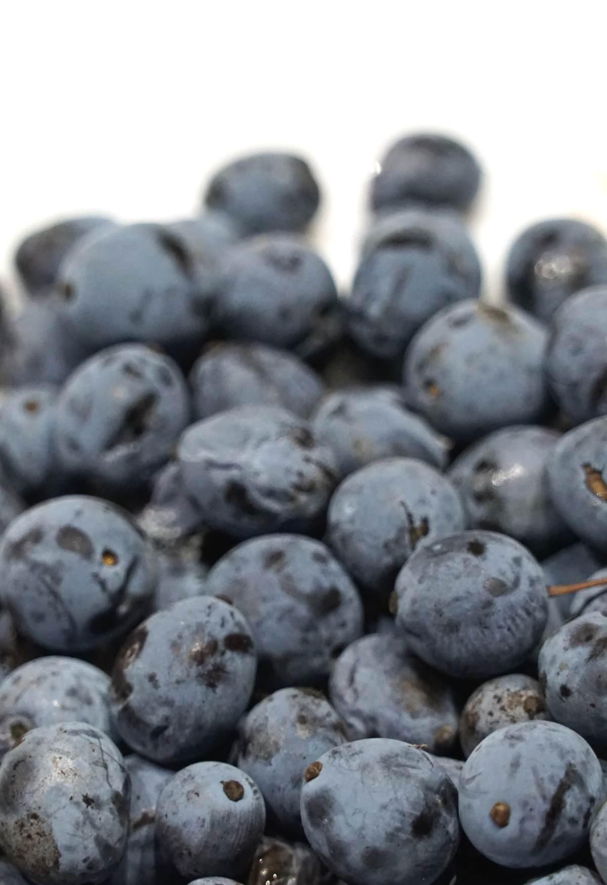 Mahonia berry harvest