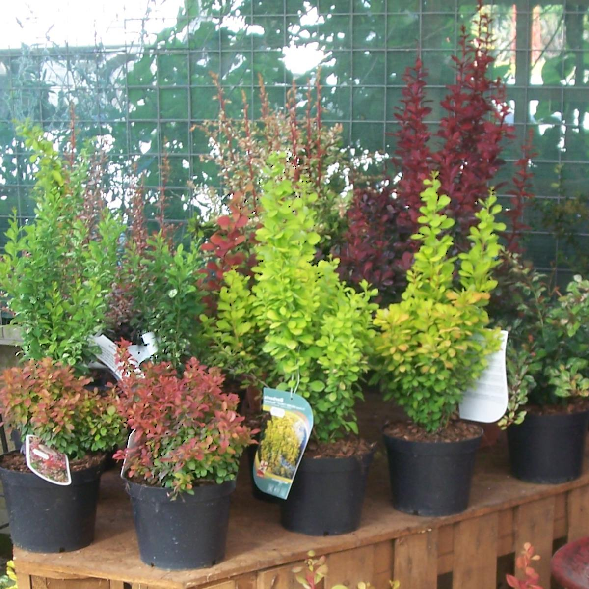 Indoor barberry plants