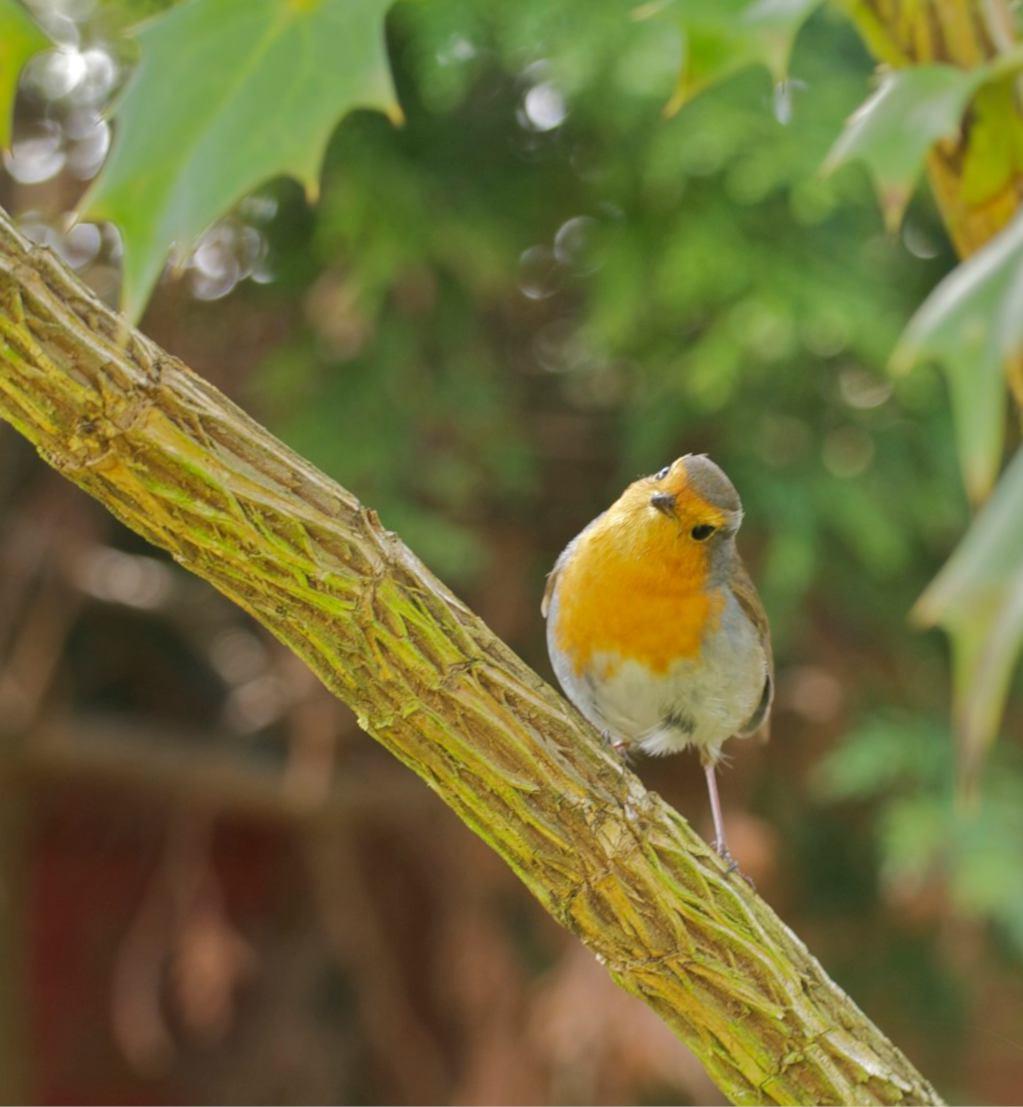 A robin bird in a mahonia tree, an example of the many mahonia benefits