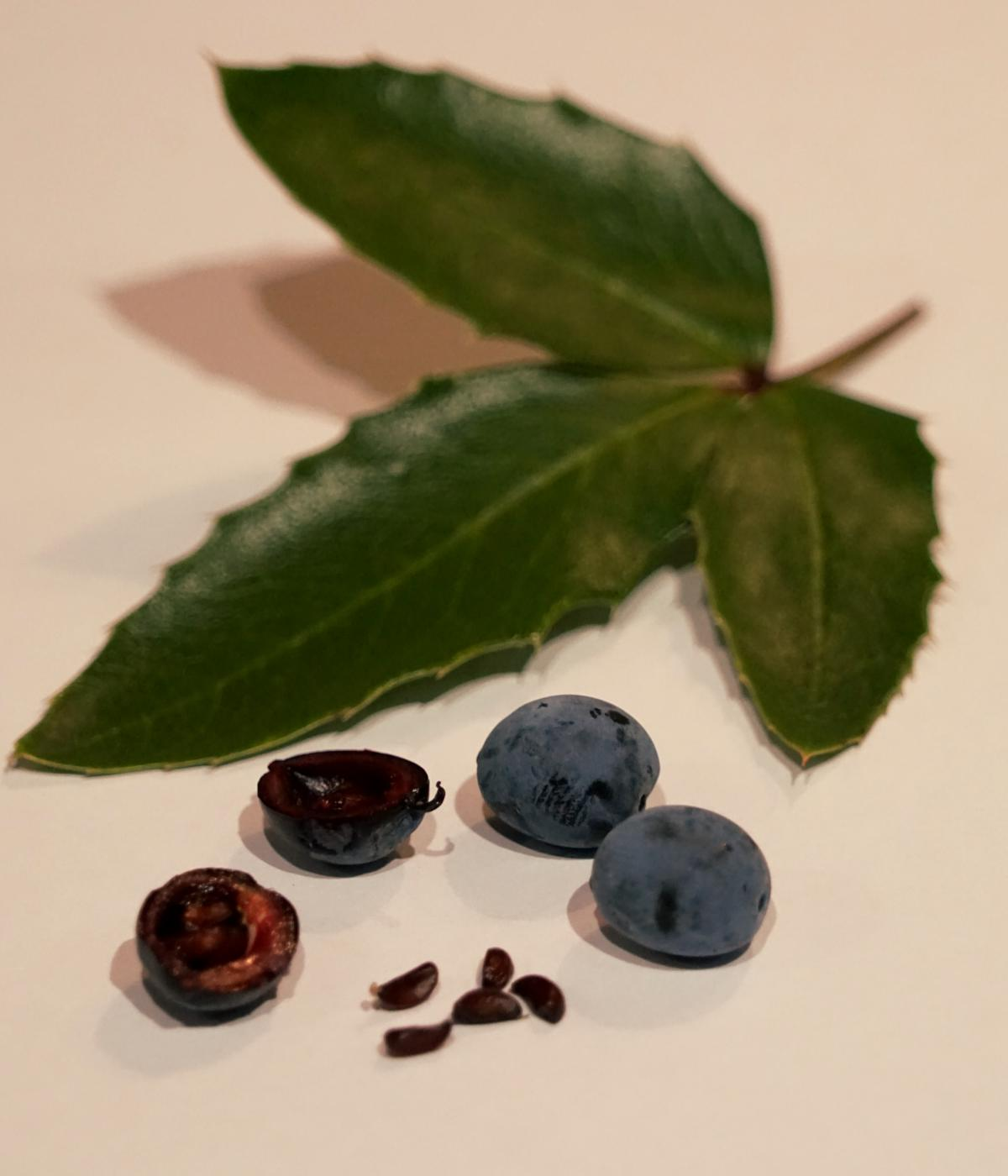 The mahonia berry, with seeds, fruit and leaves.