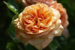 Creamy apricot-colored Carolyn Knight rose
