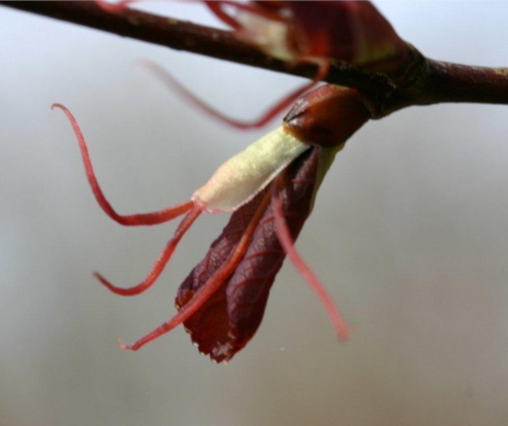 Female Cercidiphyllum katsura flower