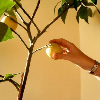 Hand picking a lemon from a potted lemon tree indoors.