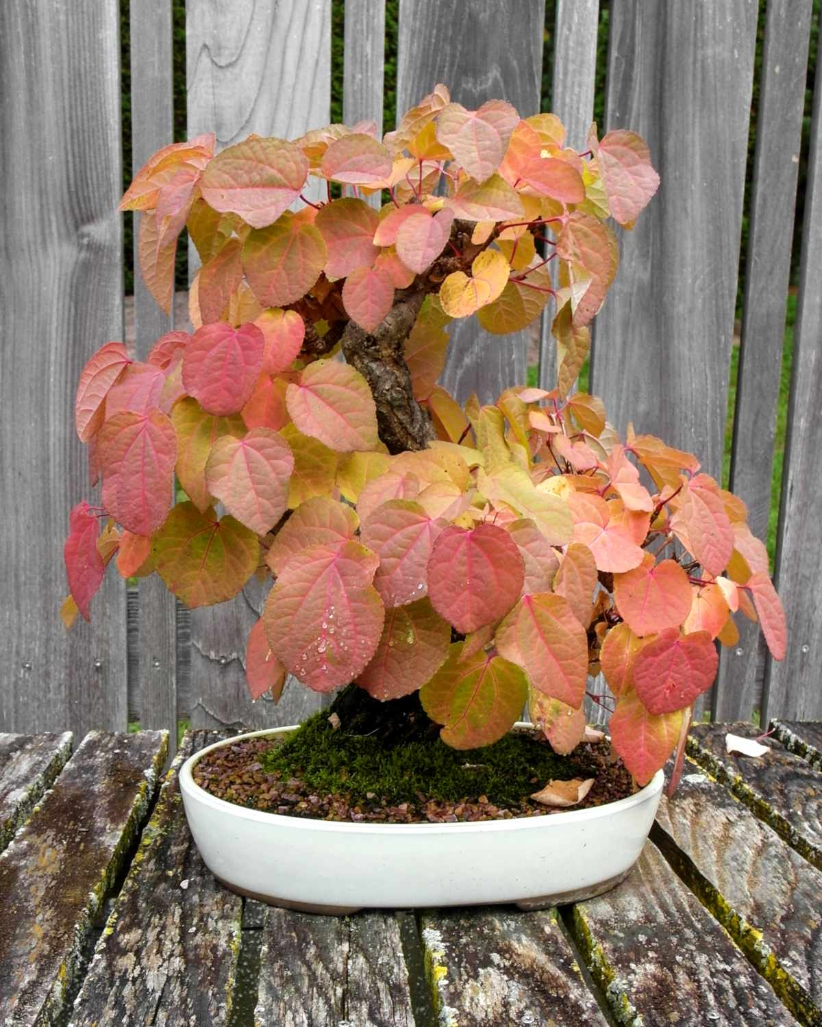Autumn foliage on a katsura cercidiphyllum bonsai