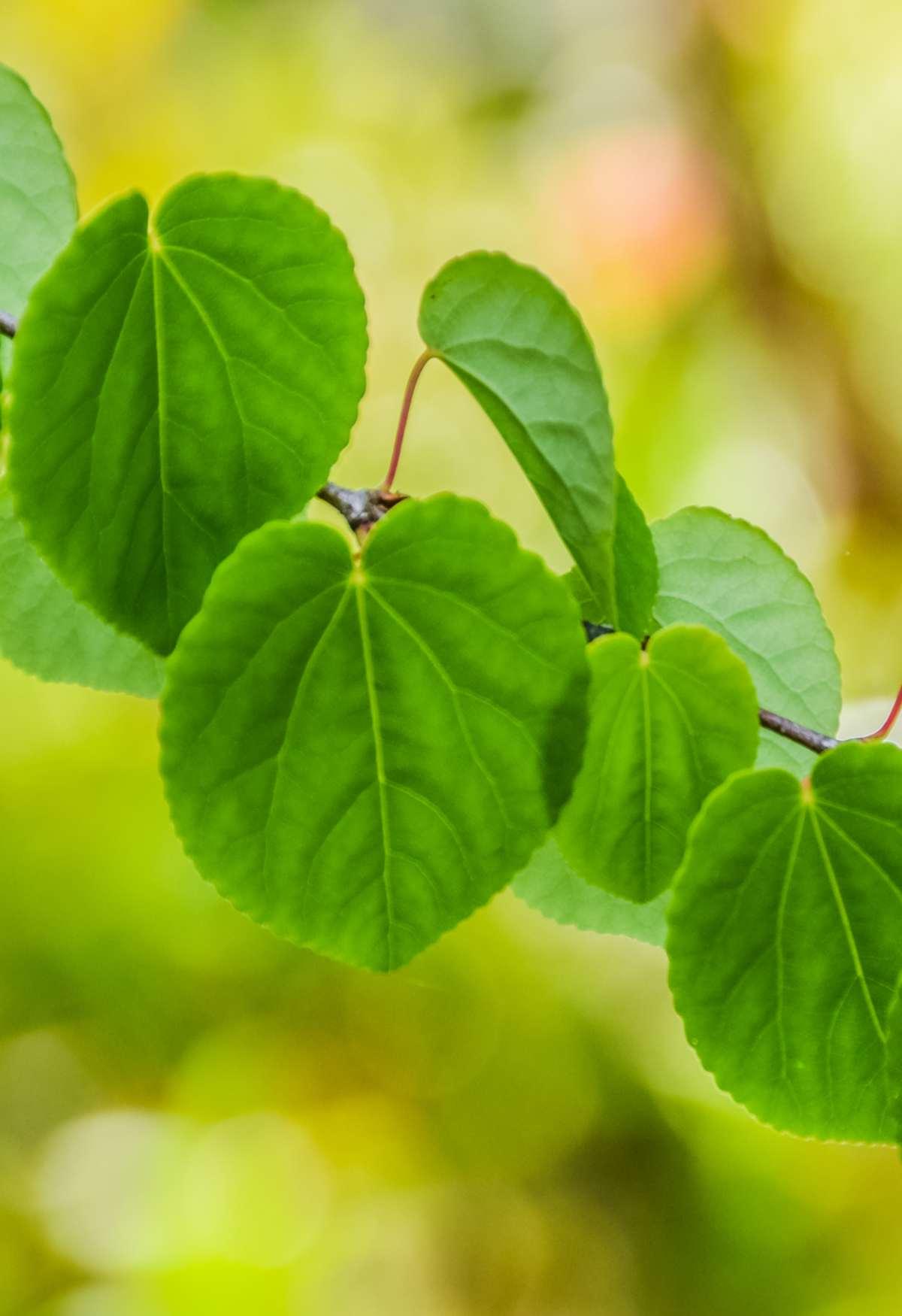 Preparing katsura cuttings – a quick way to propagate your Caramel tree!