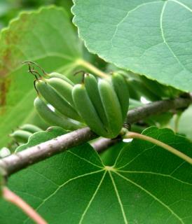 Seed pods of the katsura tree on branch, for sowing