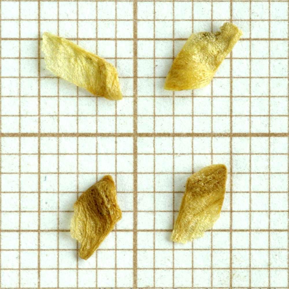 Four katsura seeds (Cercidiphyllum japonicum)