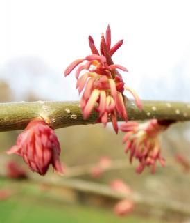 Katsura male flowers on branch