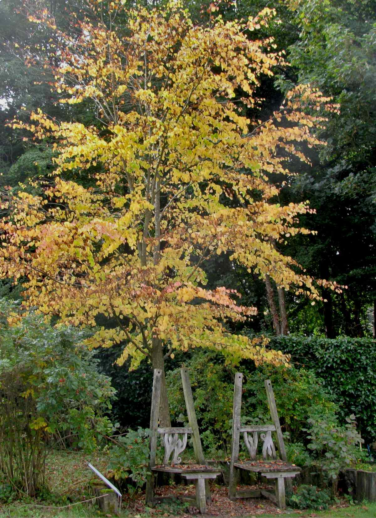 Young katsura tree at the Geoff Hamilton Memorial Garden