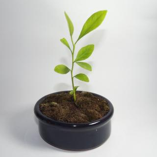 Lemon seedling started in a shallow container.