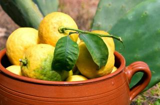 Terra cotta pot with lemons from a tree inside it