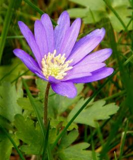 Single grecian windflower with leaves