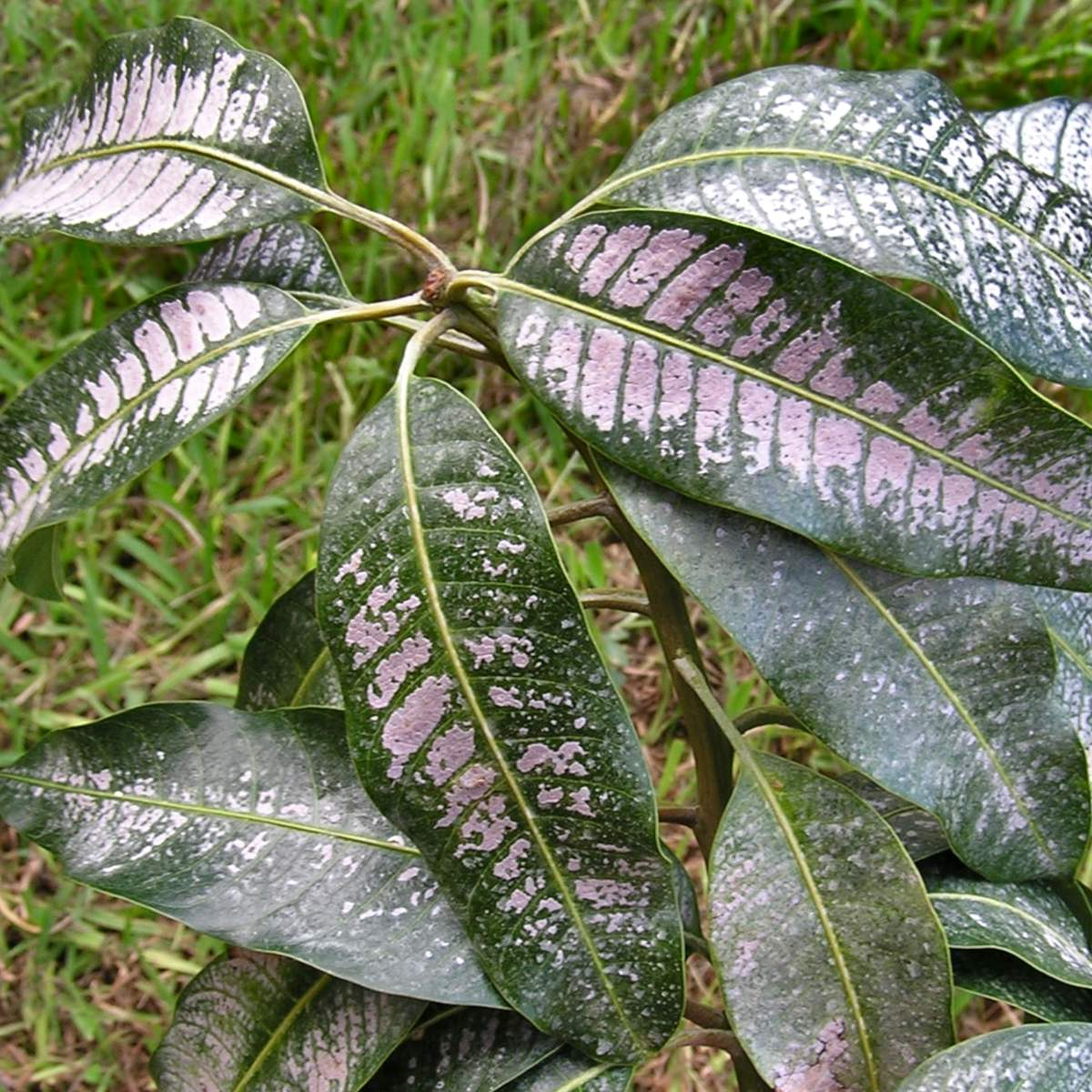 Mango leaves infected with thrips