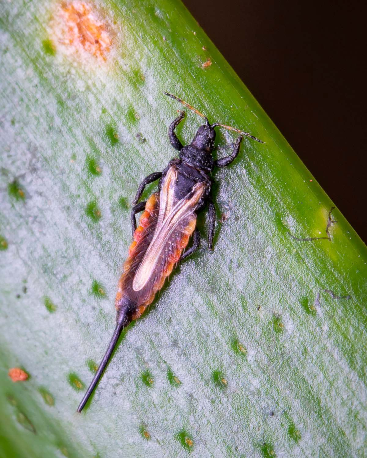 Thrips on a leaf, a rare species