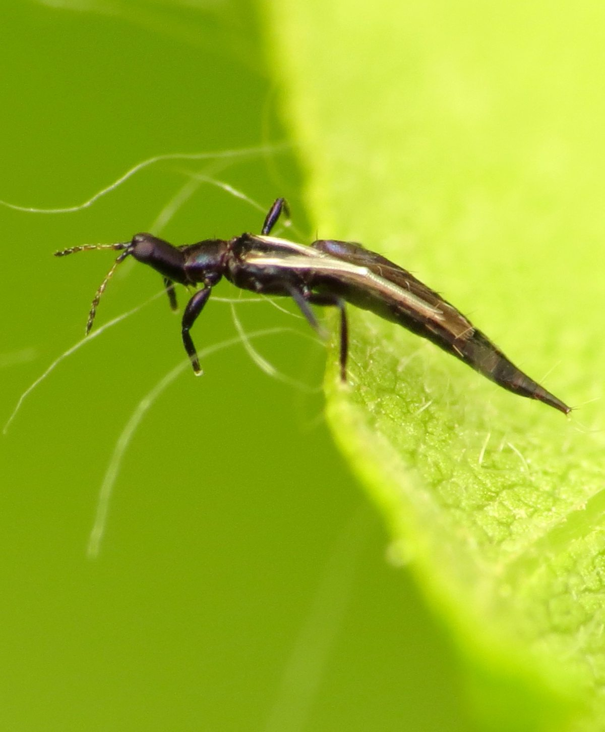The different types of thrips include predators, pests, and recycler thrips