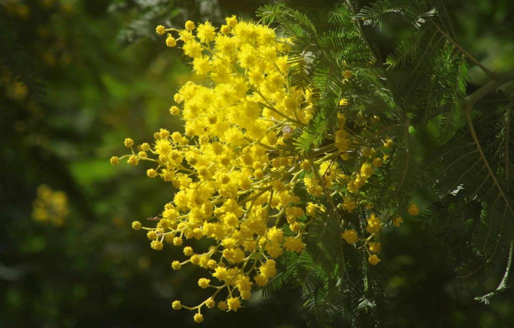 Cluster of golden acacia dealbata flowers against a deep green background