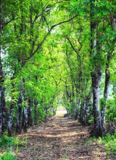 Acacia tree alley