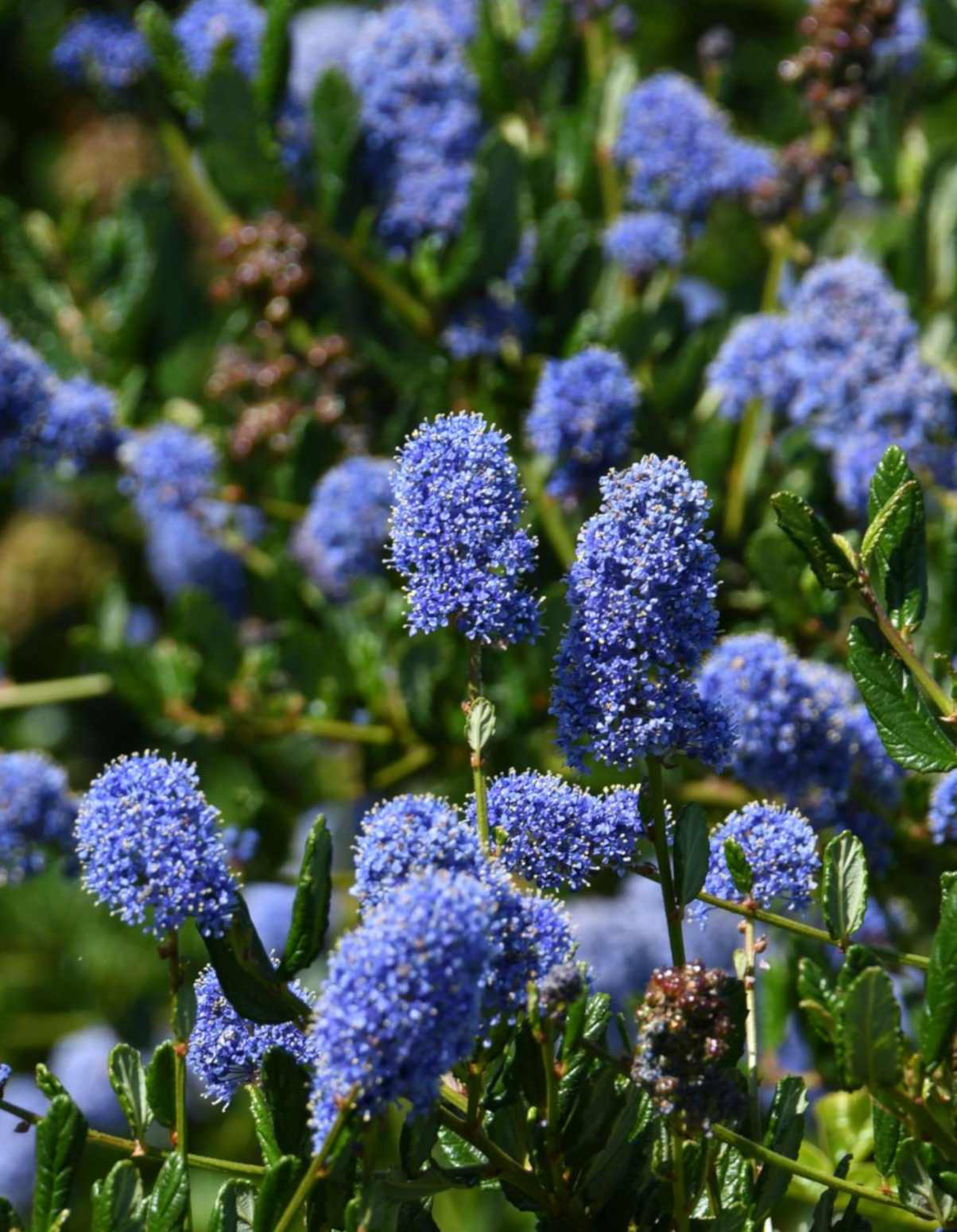 Blue-colored soap bush flowers
