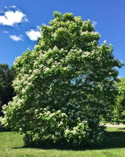 Mature Catalpa tree