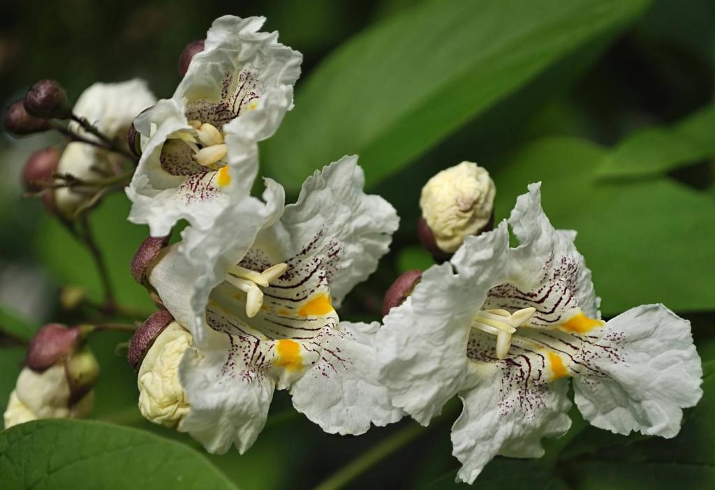 Several orchid-like flowers of the catalpa tree