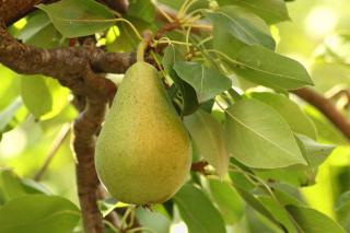 Planting a pear tree grants great fruits