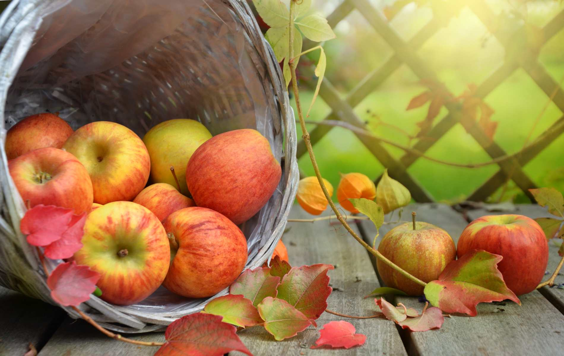 Apples in a tipped wicker basket.