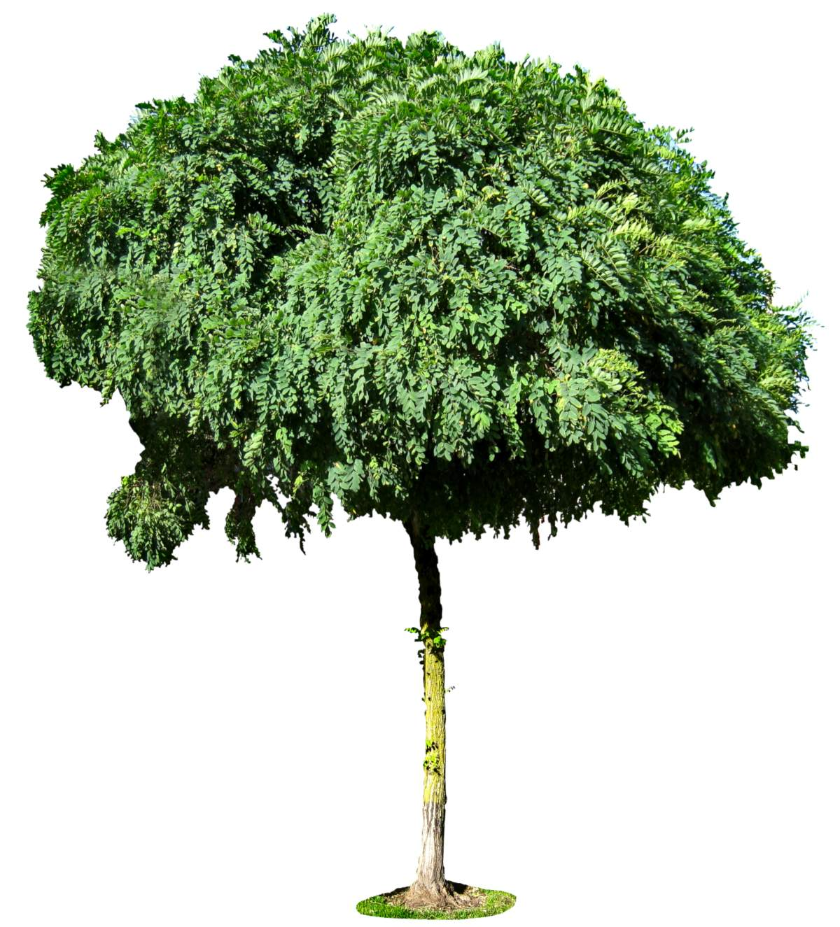 Delineated mophead acacia tree
