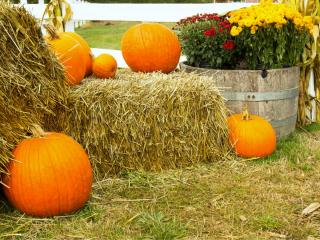 Bales of hay for mulch with pumpkin harvests