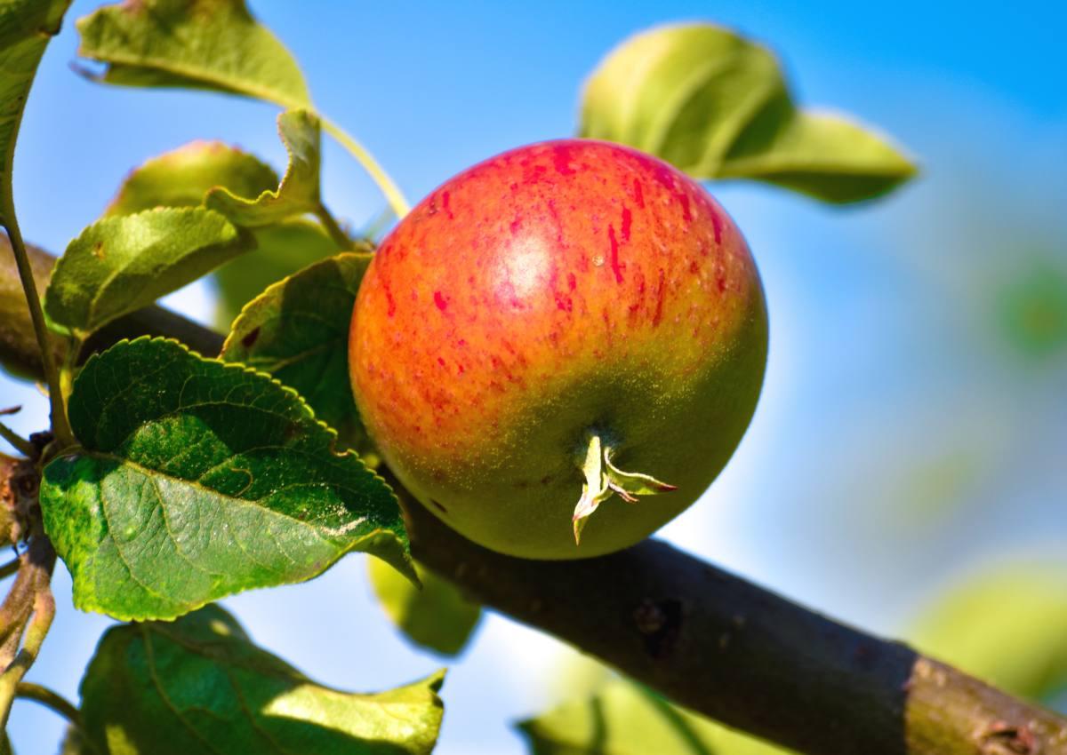 planter fruitier