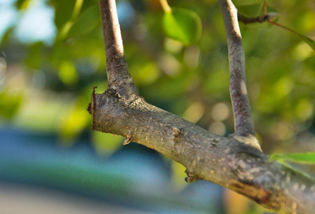 Pruning can be done in different seasons.