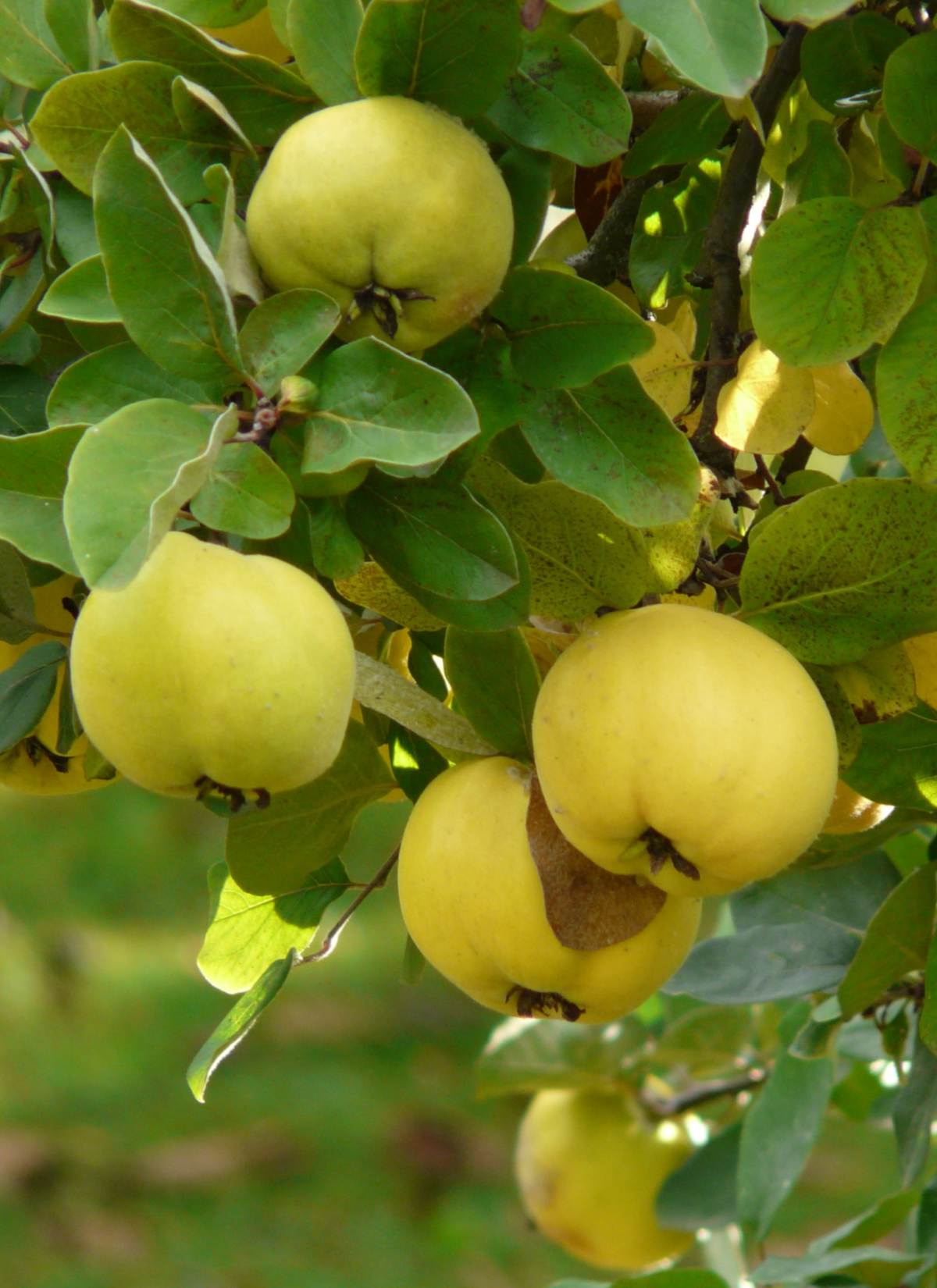 Quince tree with fruit on the branch