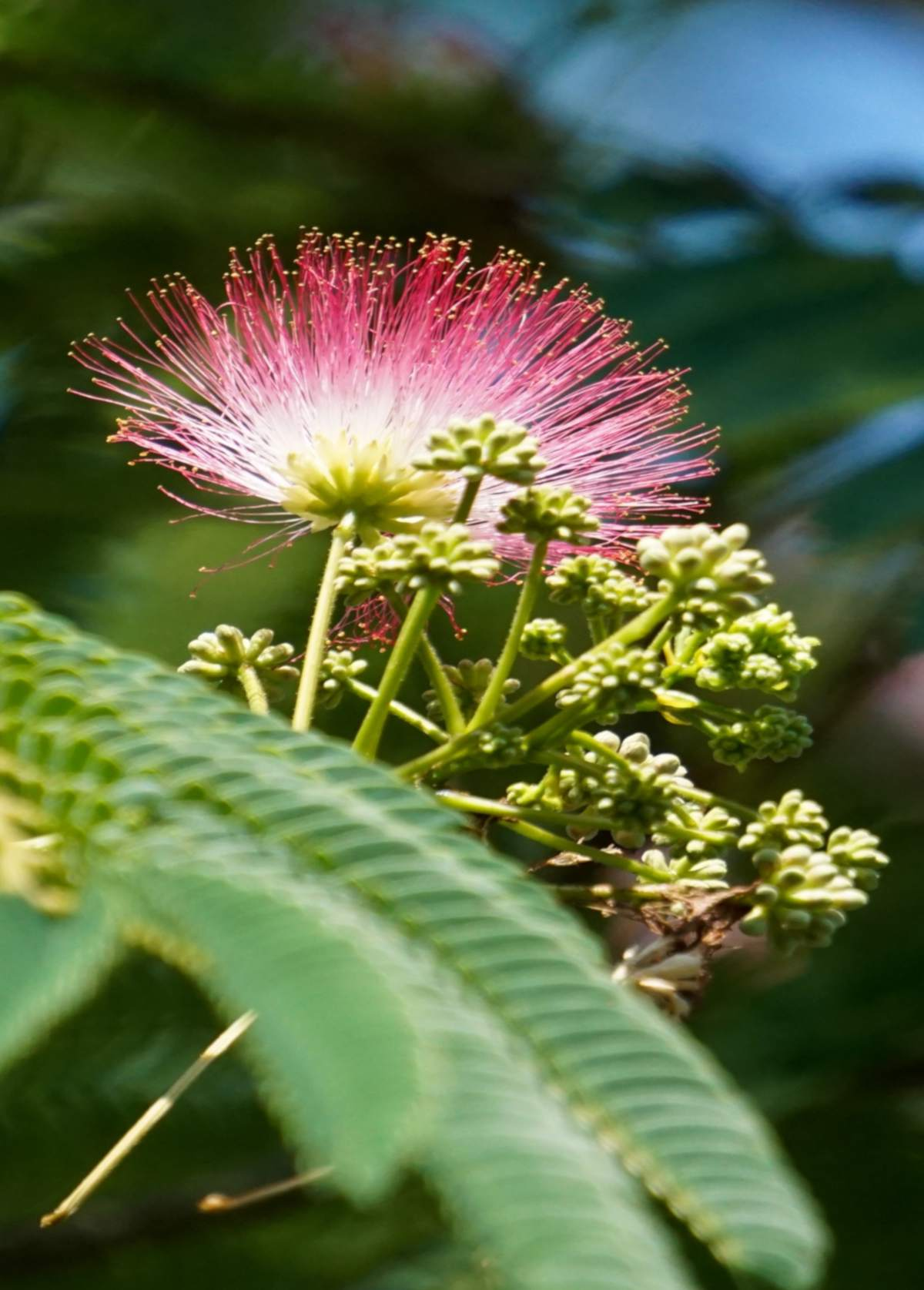 Silk tree flower with pink rim and white center