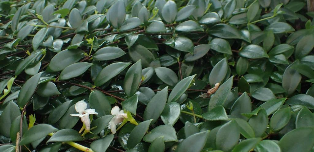 Codonanthe sprawling as ground cover.