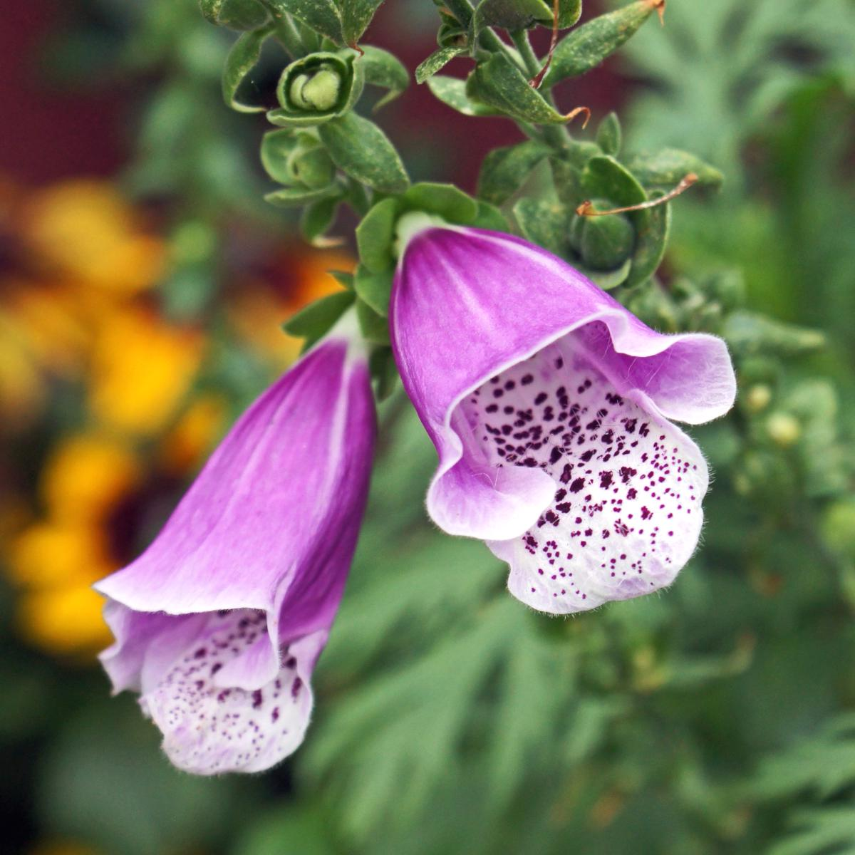 Foxglove, shown, is one of the easy biennials